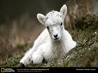 Mountain-goat-baby2.jpg